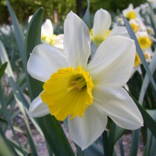 Narcissus x hybridus hort. cv. Beat All
