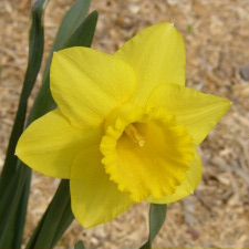 Narcissus x hybridus hort. cv. Butterflower