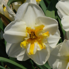 Narcissus x hybridus hort. cv. Burning Heart