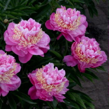 Paeonia x hybrida hort. cv. Feather Top
