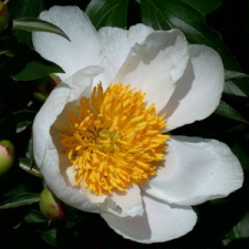Paeonia x hybrida hort. cv. The Briede