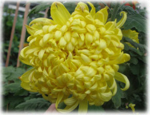 Asteraceae Chrysanthemum indicum L. cv. Applause