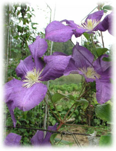Ranunculaceae Clematis x hybrida hort. cv. Luther Burbank