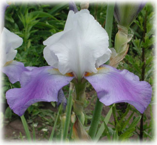 Iridaceae Iris x hybrida hort. cv. Whole Cloth