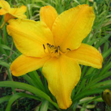Hemerocallis x hybrida hort. cv. Cup of Sunshine