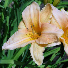 Hemerocallis x hybrida hort. cv. Fashion Queen