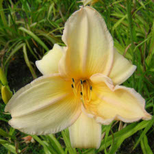 Hemerocallis x hybrida hort. cv. Heaven Knows
