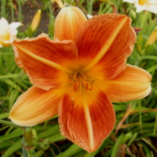 Hemerocallis x hybrida hort. cv. Holiday Mood