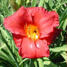 Hemerocallidaceae Hemerocallis x hybrida hort. cv. Red Fountain