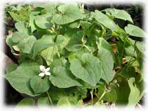 Houttuynia cordata Thunb.
