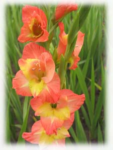 Iridaceae Gladiolus x hybridus hort. cv. Early Highlight
