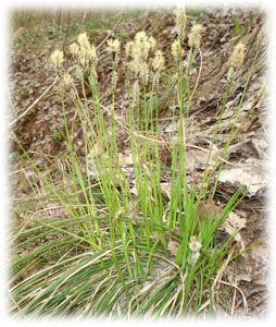 Cyperaceae Carex umbrosa Host