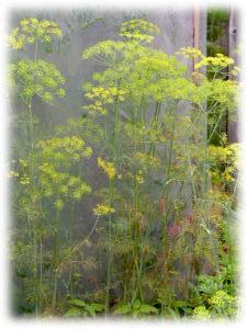 Anethum graveolens L.
