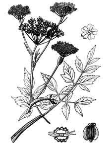 Angelica palustris (Boiss.) Hoffm.