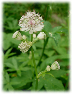 Apiaceae Astrantia major L.