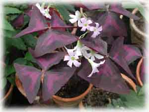 Oxalis triangularis A. St.-Hilaire f. rubra