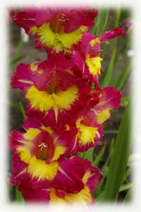 Gladiolus x hybridus hort. cv. Far West