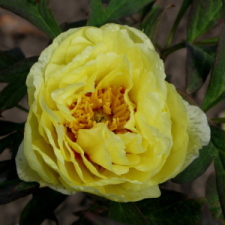 Paeonia suffruticosa Andrews cv. High Noon