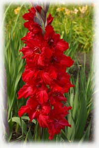 Gladiolus x hybridus hort. cv. Jungle Flower
