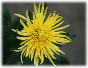 Asteraceae Chrysanthemum indicum L. cv. Daily Star Yellow