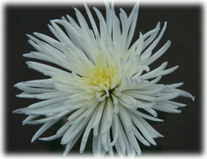 Asteraceae Chrysanthemum indicum L. cv. Daily Star White