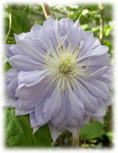 Ranunculaceae Clematis x hybrida hort. cv. Dennys Double