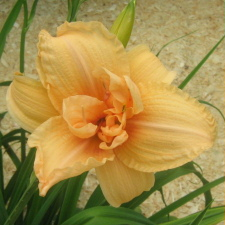 Hemerocallis x hybrida hort. cv. Double Dream
