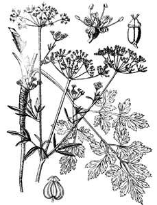 Petroselinum crispum (Mill.) A.W. Hill