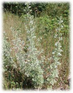 Artemisia absinthium L.
