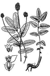 Rosaceae Sanguisorba officinalis L.