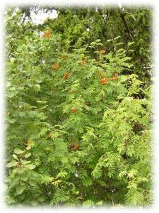 Sorbus aucuparia L.