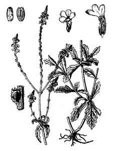 Verbena officinalis L.