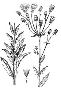 Hieracium umbellatum L.